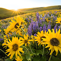 We ventured out into the hills of east Washington close to the city of The Dalles. I've never see as many wildflowers as this before. The Arrowleaf balsamroot and Lupine were prolific covering whole hillsides. I've never see anything like it!