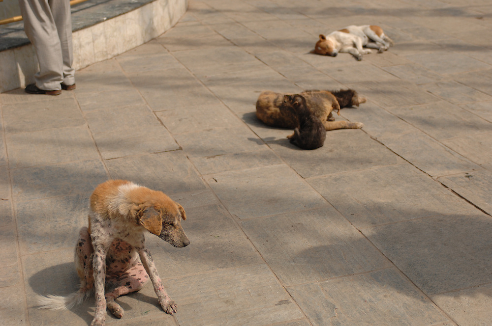 Stray dogs at Swayambhunath - the Monkey Temple - in Nepal.