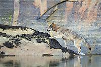 Coastal gray wolf, Khutzeymateen, BC, Canada