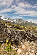 Frigid Arnica (Arnica alpina) at Thompson Pass in Southcentral Alaska. Summer. Morning.