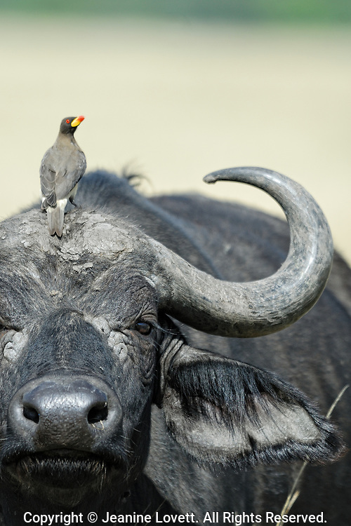 african buffalo and oxpecker bird close up