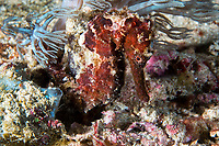 Seahorse latches on to a soft Coral with its tail<br /> <br /> Shot in Indonesia