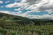 Vineyards at Olssens