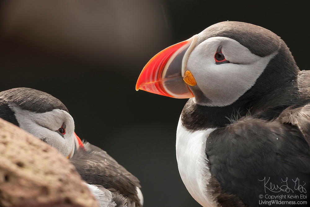A pair of Atlantic puffins (Fratercula arctica) share a ledge near the top of the Látrabjarg bird cliff in Iceland. Látrabjarg is Europe's largest bird cliff, 14 km (8.7 miles) long and up to 440 meters (1444 feet) above the Atlantic Ocean..