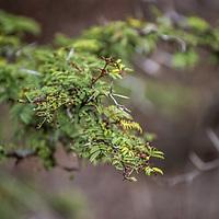 Espino or Spiny Bush