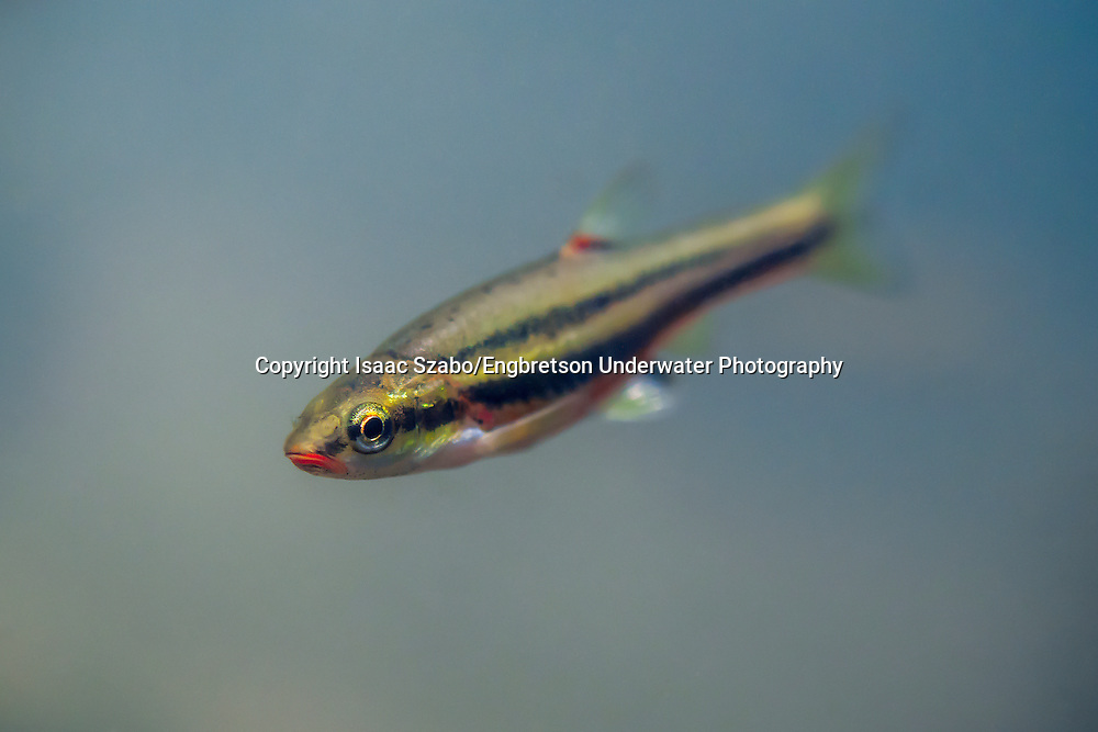 Clinch Dace<br />