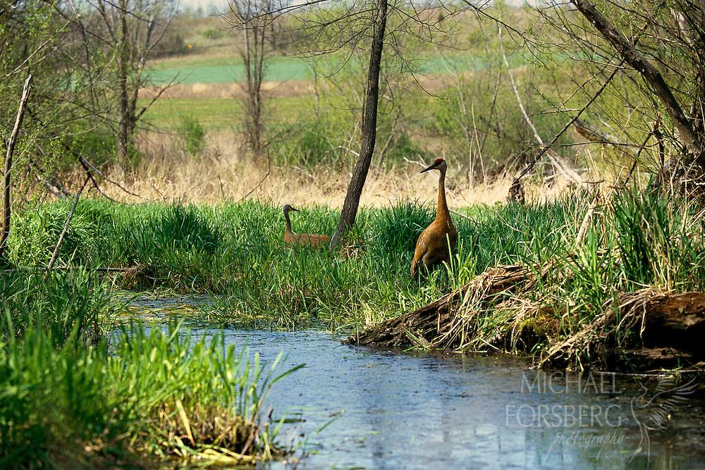 Sandhill crane pair on the nest. Baraboo Hills, Wisconsin.