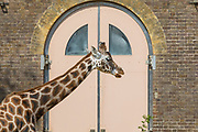 UNITED KINGDOM, London: 09 April 2020 <br /> A lonely giraffe enjoys the sunshine as it stands amongst an empty London Zoo this afternoon. The zoo was closed with immediate effect on March 20th due to risks of the coronavirus pandemic.