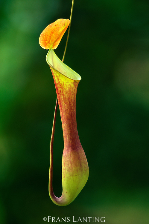 Pitcher plant, Nepenthes stenophylla, Mt Kinabalu National Park, Sabah, Borneo