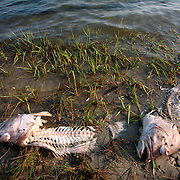 Heads from cleaned fish float on the shoreline near marsh grass.