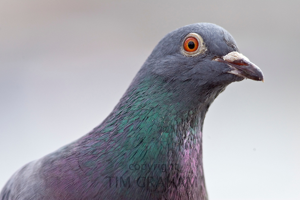 Pigeon, Southbank of River Thames, London, UK. Feral birds may be at risk from Avian Flu bird flu virus