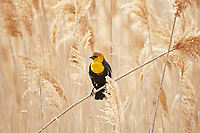 A Yellow Headed Blackbird perched on Phragmites which is an invasive plant in the state of Utah.
