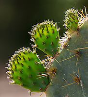Texas Prickly Pear, Opuntia engelmannii;<br /> Photographer:  Wade Grassedonio<br /> Property:  Texas Photo Ranch / River Revocable Surface, LLC-River Testamentary Surface, LLC<br /> Refugio County