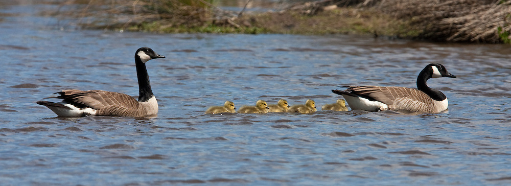 Canada Goose, Travis Wetland, New Zealand