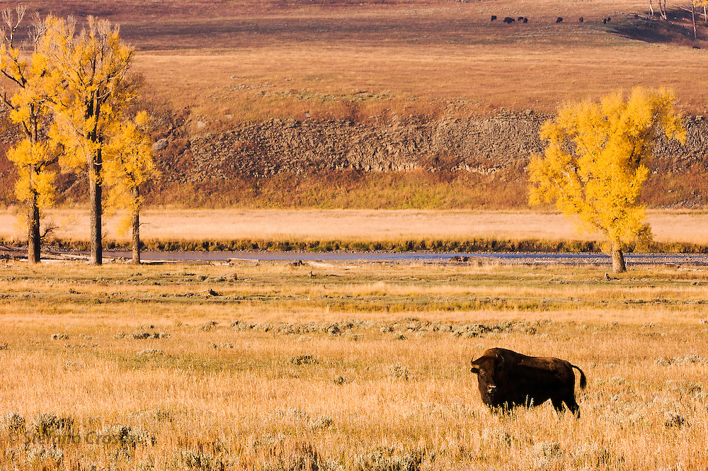 USA, Yellowstone National Park (WY)<br /> Bison (Bison bison) in Lamar Valley