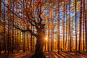 Beautiful autumnal deciduous tree in coniferous forest