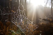DEU, Germany, North Rhine-Westphalia, spiderweb in a forest at the Ruhrhoehenweg in the Ardey mountains near Wetter.....DEU, Deutschland, Nordrhein-Westfalen, Spinnennetz im Wald am Ruhrhoehenweg im Ardeygebirge bei Wetter...[For each usage of my images the General Terms and Conditions are mandatory.]