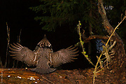 THE FOREST SYMPHONY ORCHESTRA | Ruffed grouse (Bonasa umbellus), in drumming display, conducts a pre-dawn forest symphony.<br />