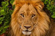 Botswana-Wildlife-Lions