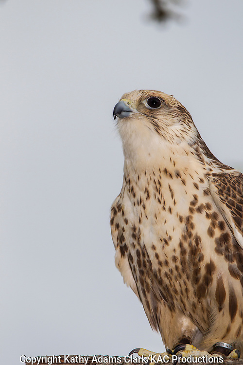 Saker Falcon,  Falco cherrug, ranges eastern Europe to Asia, captive, perched