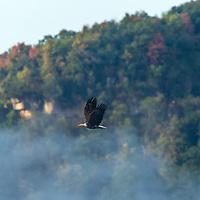 Bald Eagle over the Mississippi River
