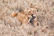 Lioness (Panthera leo) eats a zebra's leg Photographed in Tanzania