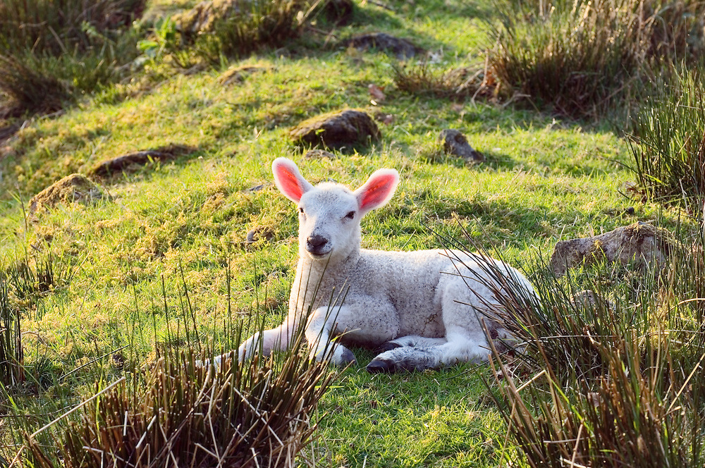 Spring lamb lying in English hill farm grass meadow