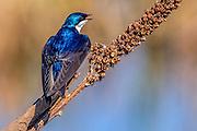 Tree Swallow - Tachycineta bicolor sitting on a seed head