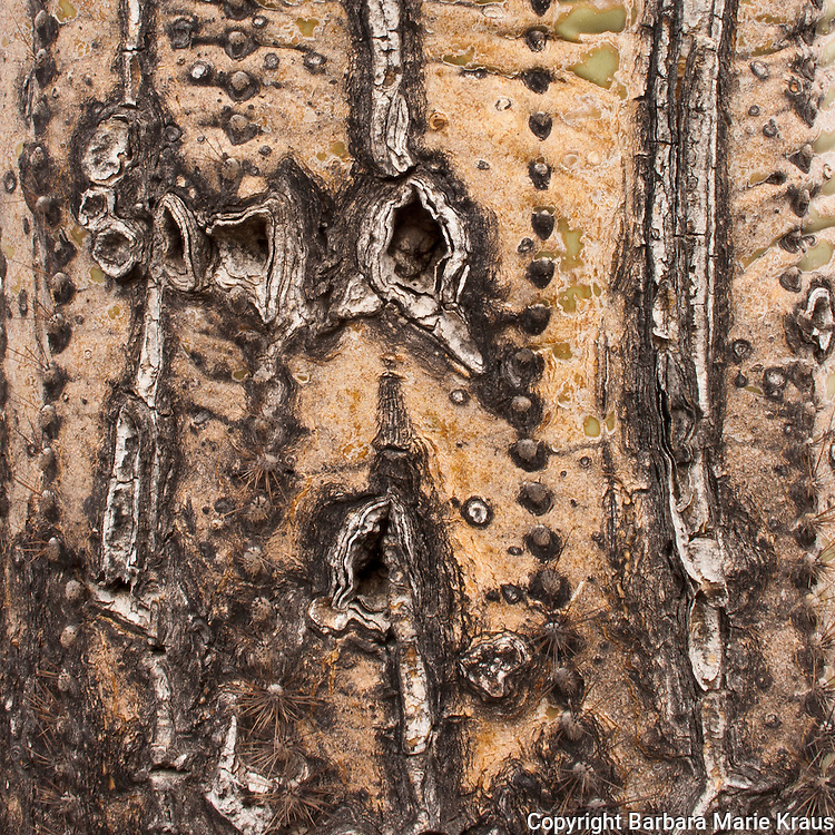 Saguaro National Park, Tucson. scars on a damaged Saguaro Plant