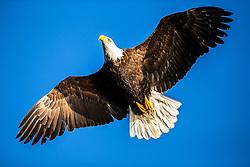 Bald eagle shooting in Homer Alaska