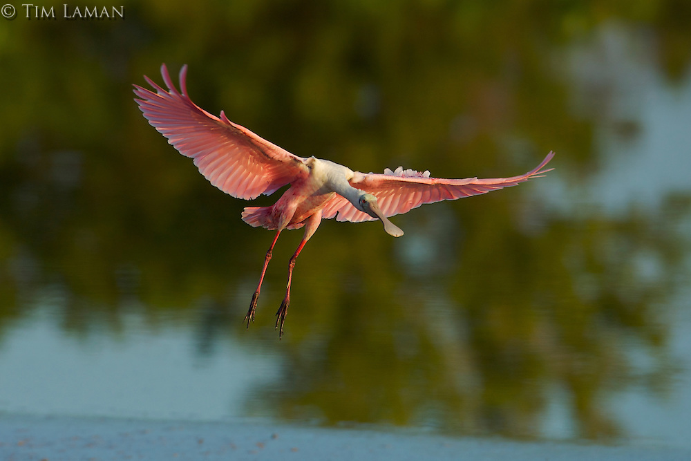 Roseate Spoonbill (Ajaia ajaja) in flight.  Everglades National Park, Eco Pond..Florida, USA.
