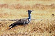 Kori Bustard,  Ngorongoro, Tanzania, East Africa