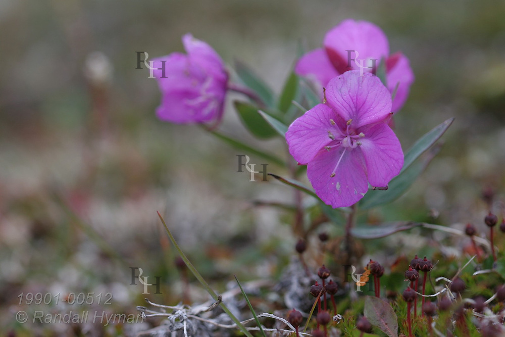 Broad-leaved willow herb (fireweed), Greenland's national wildflower, brightens tundra in late August; Eqalugssuit, western Greenland