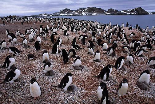Adelie Penguin, (Pygoscelis adeliae) Rookery near Palmer Station. Torgensen Island.Antarctica Peninsula.