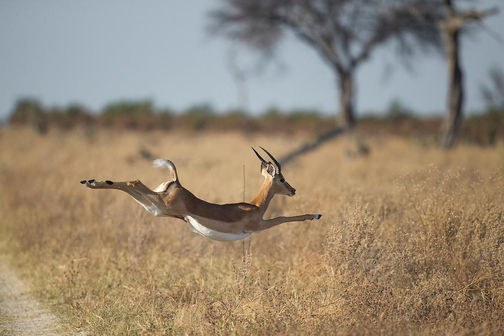 Africa, Botswana, Chobe National Park, Impala (Aepyceros melampus) leaping across desert grass in Savuti Marsh