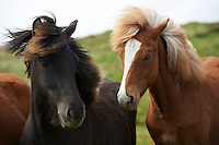 Icelandic Horses in North Iceland.