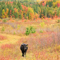 A cow and fall foliage in Vermont's Northeast Kingdom.  Cabot, VT.