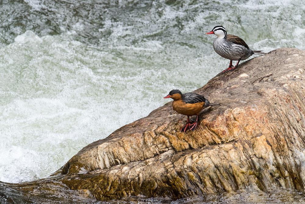 Torrent Duck, Merganetta armata, male, female, pair, Rio Papallacta, Ecuador, Andes, Andean, river, stream, waterfowl
