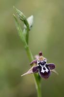 Ophrys Cretica,  (Ophrys cretica), Falassarna, Crete