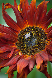 Bee on dark red sunflower. Helianthus annuus