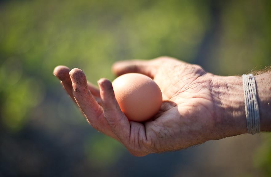 Rhode Islans Red egg