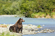 A large brown bear (Ursus arctos) pauses between fishing for salmon along Geographic Creek at Geographic Harbor in Katmai National Park in Southwestern Alaska. Summer. Afternoon.