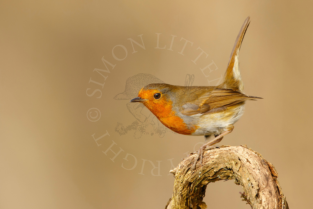 European Robin (Erithacus rubecula) adult,perched on fallen branch, Norfolk, UK.