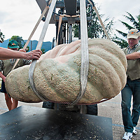 BRESCIA, ITALY - SEPTEMBER 12:  Judges move one of the giant pumpkins towards the scale during this year competition at Sale Marasino on September 12, 2010 in Brescia, Italy.  Cutrupi Stefano of Radda in Chianti, won  this year Italian National Competition with his pumpkin weighing  507 Kg.