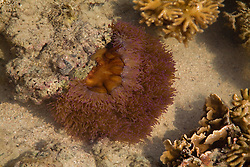 A stunning anemone in a pool in Talbot Bay