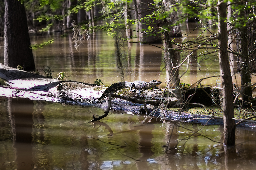 Young alligator in the Atchafalaya Basin near the boat launch in Belle River, close to FAS wastewater injection well.