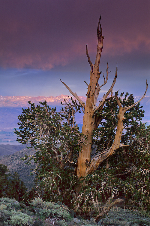 Stormy dawn over Eastern Sierra and Bristlecone, Ancient Bristlecone Pine Forest the White Mountains, CALIFORNIA
