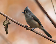Image of tufted titmouse.