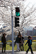 Yeoido Island. Hundreds of Thousands of Seoulites enjoy the Cherry Blossom in Yunjungno, the street around the National Assembly lined by cherry trees which has been cleared from traffic for these days.