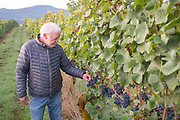 Ted Casteel samples freshly picked grapes from 2017  harvest, Bethel Heights, Eola-Amity AVA, Willamette Valley, Oregon